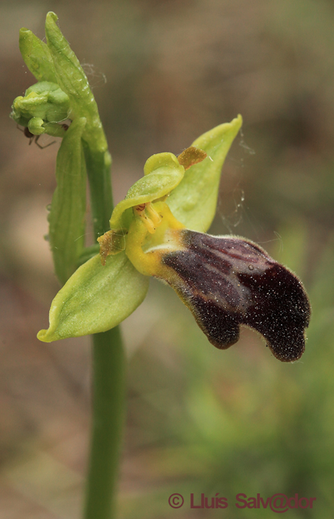 Ophrys arnoldii