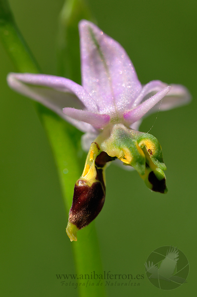 Ophrys scolopax - lusus